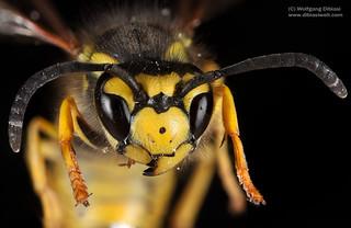 Wespe (Vespula sp)