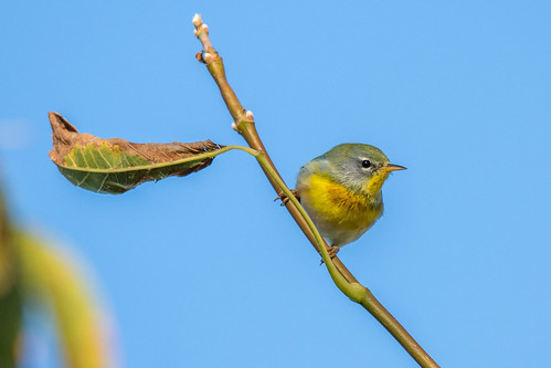 autumn color bird fall philadelphia nature beauty us nikon unitedstates pennsylvania wildlife migration heinz warbler tinicum johnheinznwr woodwarbler northernparula d7200