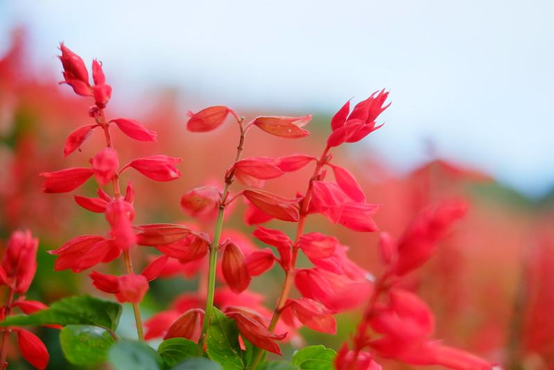 サルビア Salvia splendens