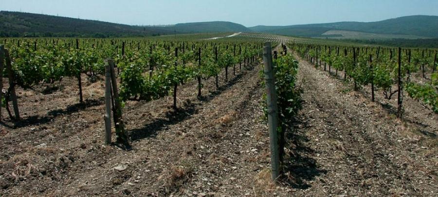 В Геленджике началась переработка винограда