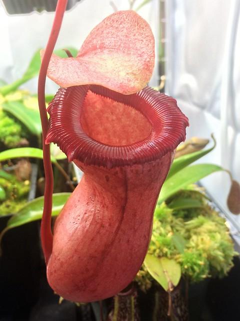 Nepenthes ventricosa-squat x [ventricosa x (lowii x ventricosa)]