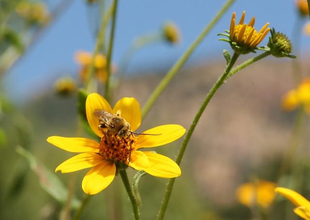 Bees of AZ