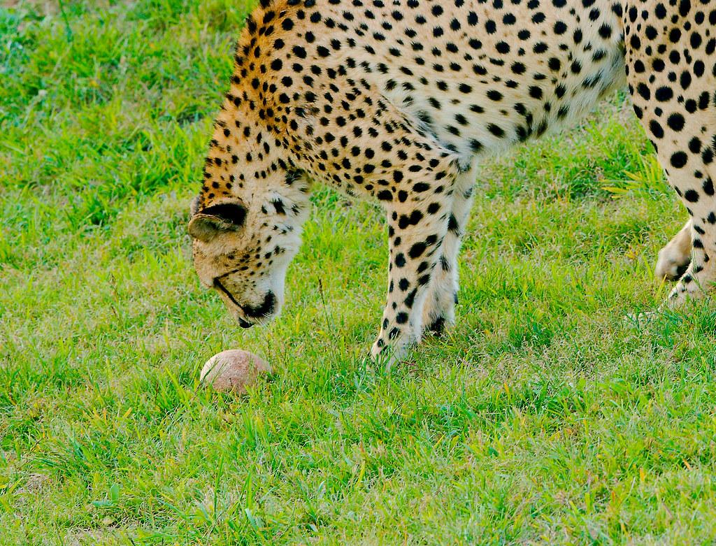 Cheetah_4