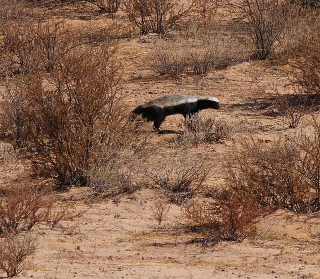 Honey Badger (Ratel)