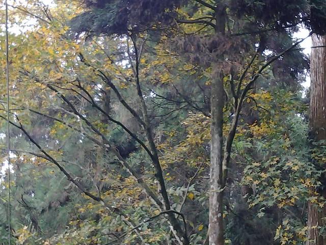 59溪頭的楓葉