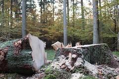 1. November 2015 - 16:28 - Holzernte Baumstamm 2