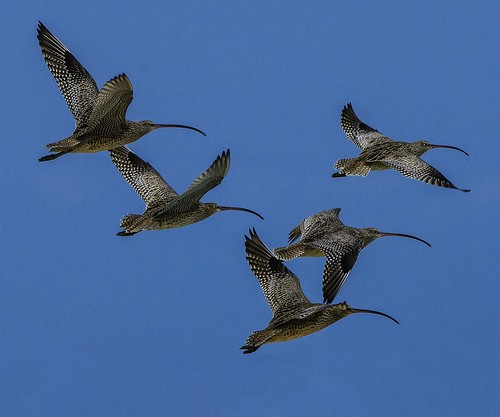 Far Eastern Curlew_credit DS Hovorka