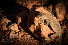 Plateau Side-Blotched Lizard in Capitol Reef National Park, UT - 20150320CRN