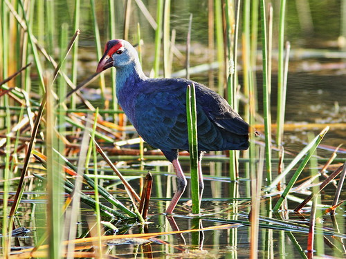 Gray-headed Swamphen in spikerush 20151212