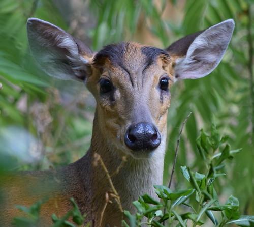 Deer of Thailand