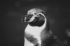 Penguin (B&W)