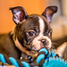 Boston Terrier puppy and his rope toy