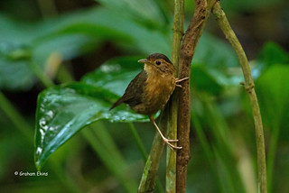 Brown-capped Babbler,  Pellorneum fuscocapillus scortillum, Sri Lanka Endemic,