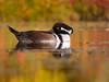 Chronique d'Angrignon | Harle couronné mâle | Parc Angrignon | Arrondissement Sud-Ouest | Montréal