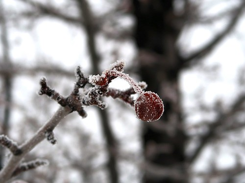 1 Winter Pear