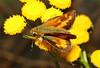 Ochlodes sylvanoides ♂ (Woodland Skipper) by Nick Dean1