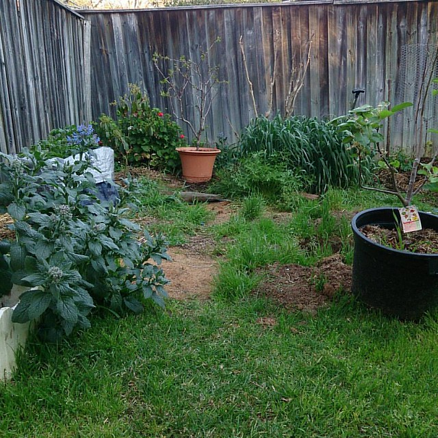 Borage, potatoes, avocado, geranium, cherry crepe myrtle, oats, mizuna apple. You can't see either the asparagus or the strawberries... #garden #gardenofsel