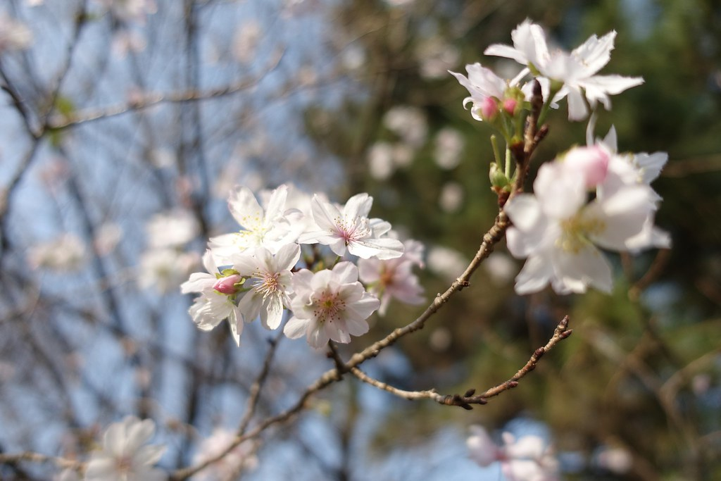 The cherry blossom in autumn 2015/10 No.1.