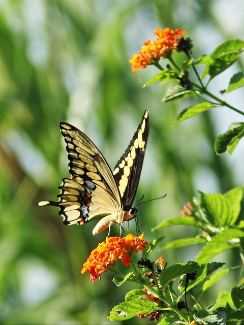 Giant Swallowtail 2-20151101
