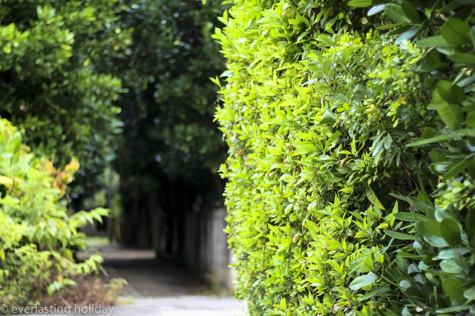 備瀬フクギ並木通り Bise Fukugi Tree Road-0005