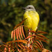Couch's Kingbird by Buzzie82