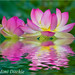 Lotus Flowers by Mimi Ditchie
