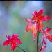 Red on blue bokeh by Steve-h