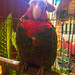 Another Cuban parrot as a pet in