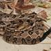 Canebrake Rattlesnake by Matt Buckingham
