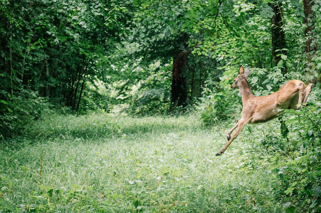 Observer les animaux - Forêt d'Auberive - Le saut de la biche