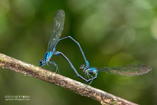 Damselflies (Zygoptera) - DSC_8542