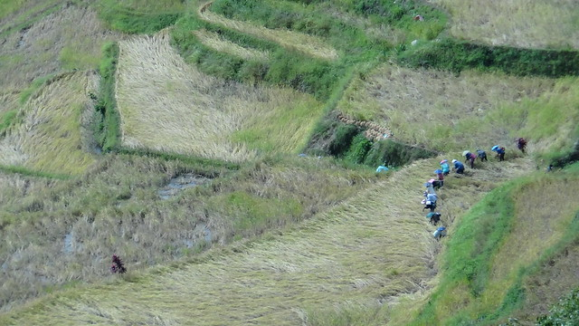 Rice Planting in the Philippine Rice Terraces. UNESCO Heritage Site.