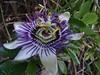 Blue Passion Flower ~ P. caerulea. by spuddie7
