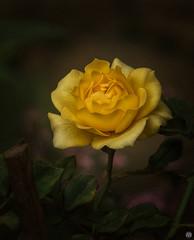 Rose fine art 2