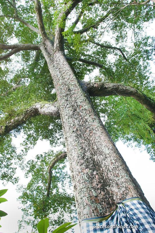 goa gajah large tree