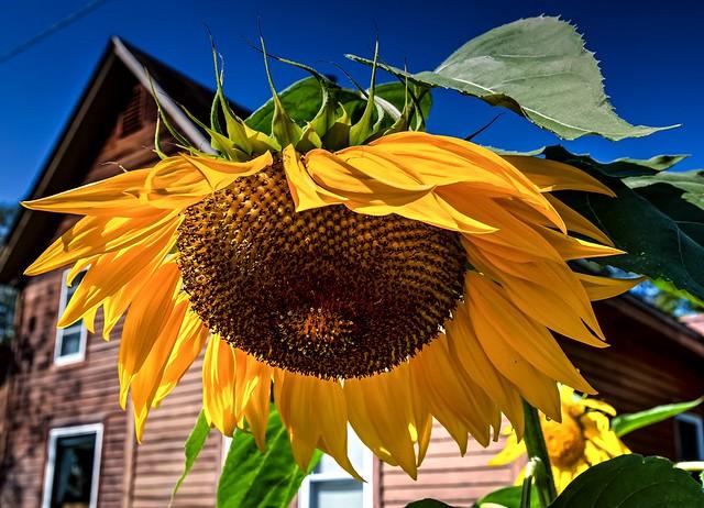 Sunny Montpelier Giant