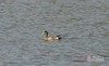American Wigeon-4854_3 by BillRhodesPhoto