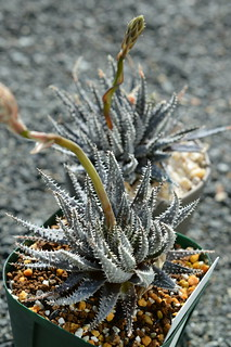 DSC_1031 Aloe florenceae