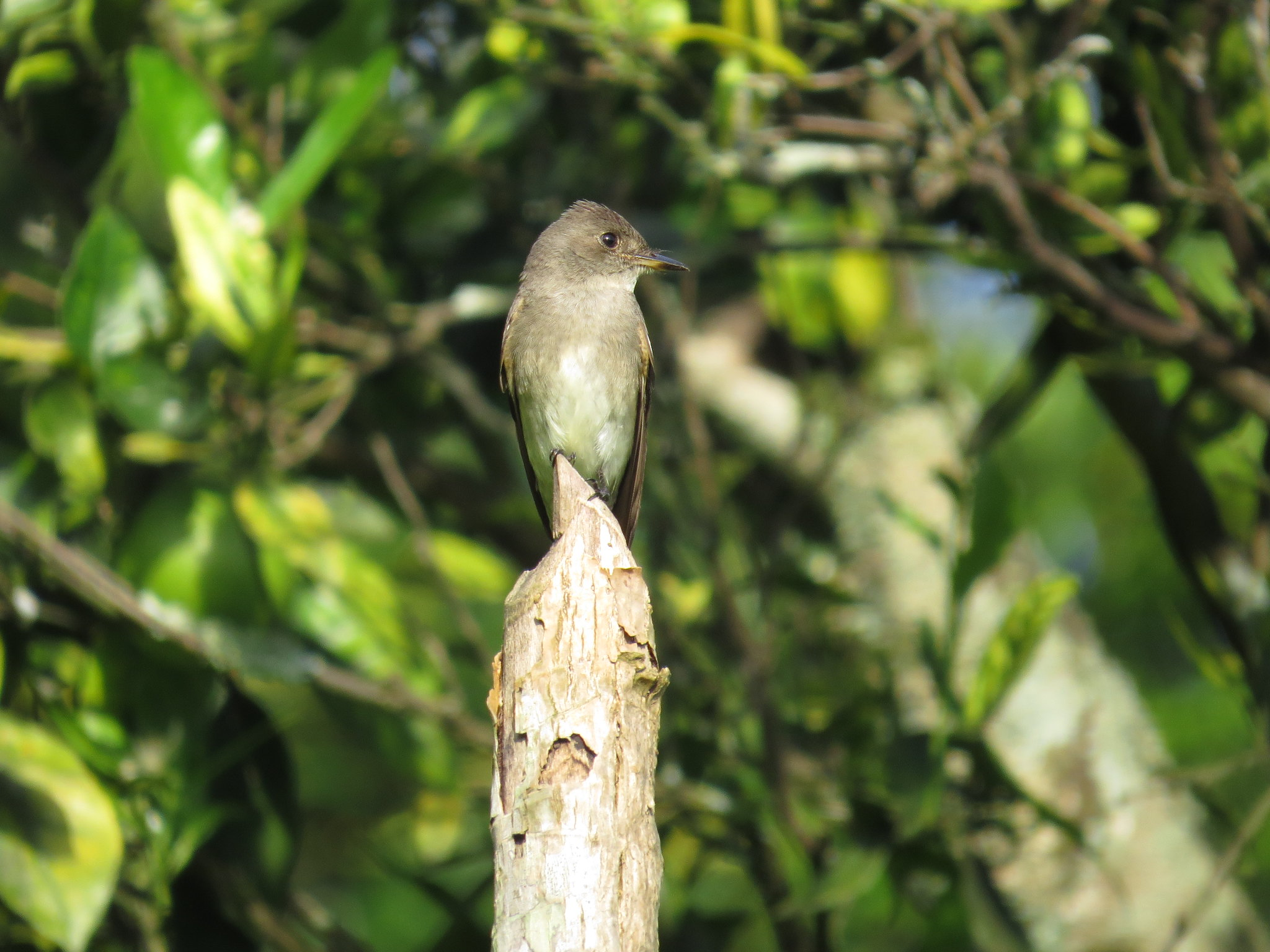 Western Wood-Pewee by Seth Inman - La Paz Group