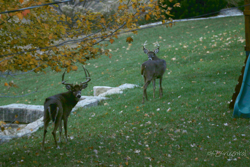 IMG_6517BackyardDeer