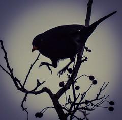 HolderBlackbird silloettes 8