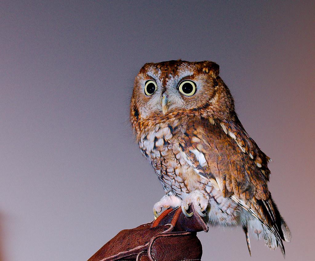 Screech Owl_2