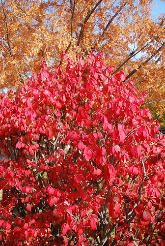 Fall colour autumn flaming bush display