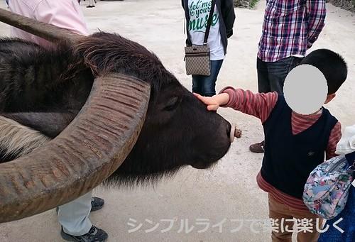石垣島、竹富島・水牛に触る
