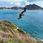 One flew over the pelican's nest. Am a big fan of birds, pelicans included. This one is a brown pelican, the national bird of St. Maarten, circling over a nest of them atop 17th century Fort Amsterdam at the turn-around point of our morning cycling tour.