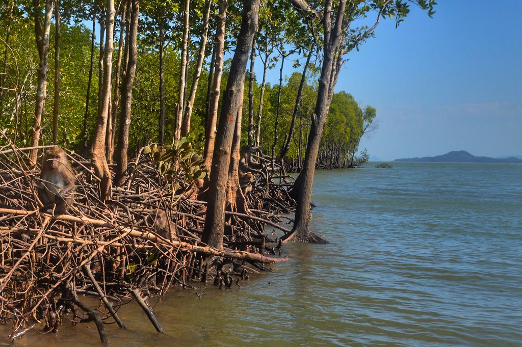 Monkey on the mangrove forest in Lanta, Thailand