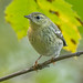 Blackpoll Warbler by evilpigeon777