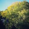 Yellowing tree, 10/11/16
