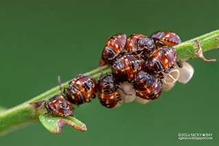 Stink bug babies (Pentatomidae) - DSC_2704