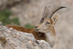 Cabra hispanica Montserrat